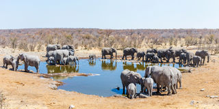 Panoramic view of a Moringa waterhole with large family of african elephants Stock Images