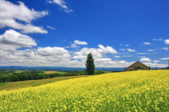 Panoramic view of mustard field and blue sky with clouds in Biei town, Hokkaido Stock Images
