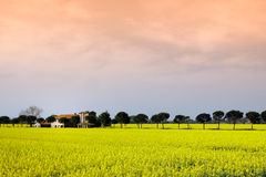 Panoramic view of mustard plants in Umbria, Italy Royalty Free Stock Images