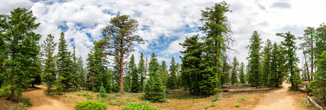 Panoramic View Of Pine Tree Forest At Bryce Canyon Stock Image