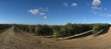 Panoramic view of olive trees cultivation Stock Images