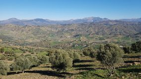 A panoramic view of the olive trees orchard, the blue sky and the mountain range stock photography