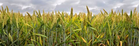 Free Panoramic View On Field Of Wheat Royalty Free Stock Image - 120382426