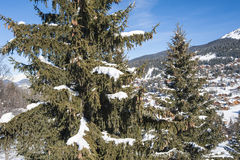 Panoramic view over a snowy slope with pine tree Stock Photo