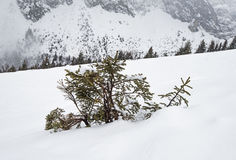 Panoramic view over a snowy slope with young pine tree Stock Image