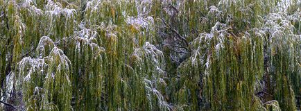 Snow covered weeping willows stock image