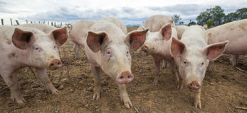 Panoramic view of pigs. Outdoors in autumn royalty free stock image