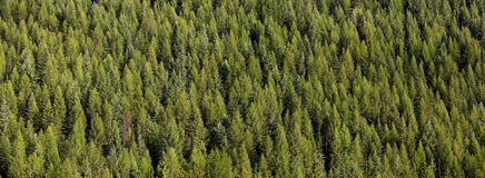 Panoramic view of pine trees Stock Image