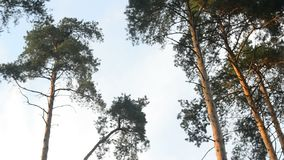 Panoramic view of pines. And sky, in summer season stock footage