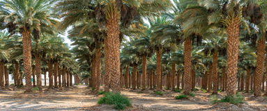 Panoramic view on plantation of date palms Royalty Free Stock Photography