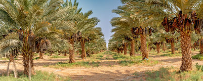 Panoramic view on plantation of date palms Royalty Free Stock Photo