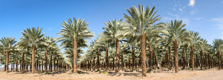 Panoramic view on plantation of date palms Stock Images