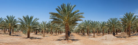 Panoramic view on  plantation of date palms Royalty Free Stock Images