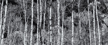 Panoramic view of poplar forest in black and white Royalty Free Stock Photos
