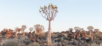 Panoramic view of quiver tree forest at Garas near Keetmanshoop. Panoramic view of the quiver tree forest at Garas near Keetmanshoop on the B1-road to Mariental Royalty Free Stock Photo