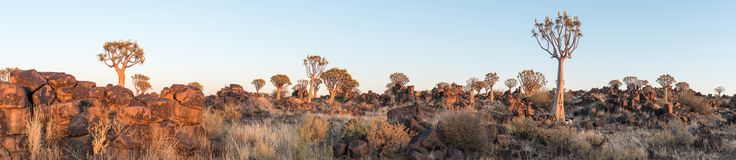 Panoramic view of quiver tree forest at Garas near Keetmanshoop. Panoramic view of the quiver tree forest at Garas near Keetmanshoop on the B1-road to Mariental Royalty Free Stock Photography