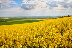 Panoramic view of rapeseed field Royalty Free Stock Photo