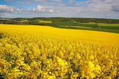 Panoramic view of rapeseed field Royalty Free Stock Image