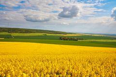 Panoramic view of rapeseed field Stock Photos