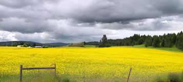 Panoramic view of Rapeseed fields Royalty Free Stock Photo