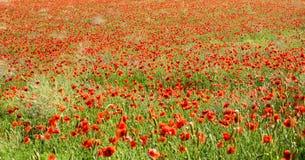Panoramic view of red corn poppies Stock Photo