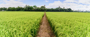 Panoramic view of rice field with pathway and blue sky, Suphan Buri, Thailand Royalty Free Stock Photography