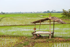 Panoramic view of Rice fields. On Chiangmai, Thailand Royalty Free Stock Image