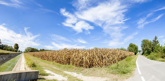 Panoramic view of a ripe wheat field. At the end of summer Stock Image