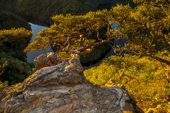 Twisted pine on a rock high above the canyon of the river in sun royalty free stock image