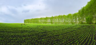 Panoramic view of rows of green wheat sprouts growing in agricultural field surrounded by birch trees. royalty free stock photo