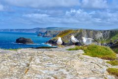 Panoramic view of the rugged coastline with three european herr. Ing gulls at Tintagel, Cornwal. UK royalty free stock image