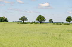 Panoramic view of rye field and tree in horizon Stock Photos