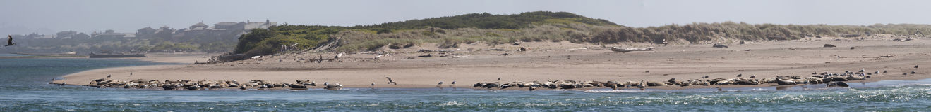 Panoramic View of Salishan Spit. Long distance panoramic view of seal colony on north end of Salishan Spit. Image taken near Mos Restaurant in Lincoln City royalty free stock photos