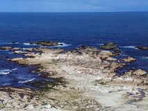Panoramic View of Seal Colony, New Zealand Royalty Free Stock Photo