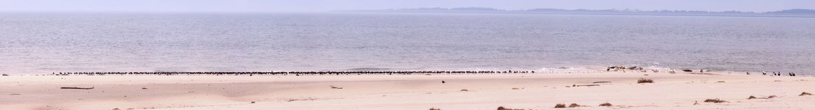 Panoramic view with seals and seabirds on the North Sea island A Royalty Free Stock Images