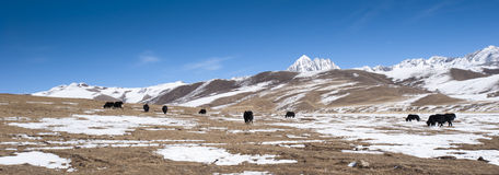 Panoramic view of snowy grasslands. With yaks pasturing. Tagong grasslands, Sichuan province, China Stock Image