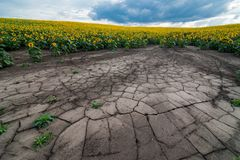 Panoramic view of soil erosion sunflower field. Panoramic view of soil erosion with cracks on sunflower field stock photo