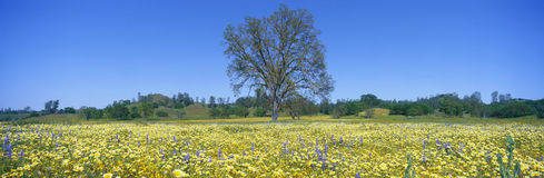 Panoramic view of spring flowers and large single tree off Route 58 on Shell Creek Road west of Bakersfield, California Royalty Free Stock Photos