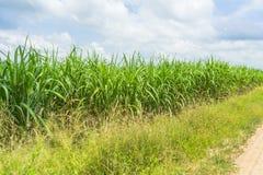 View of sugarcane plantation. Panoramic view of sugarcane plantation royalty free stock image