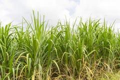 View of sugarcane plantation. Panoramic view of sugarcane plantation royalty free stock photo