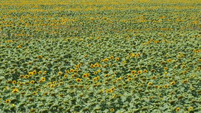 Panoramic view of sunflowers field stock footage
