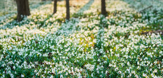 Panoramic view of sunlit forest full of snowdrop flowers in spring season Stock Images