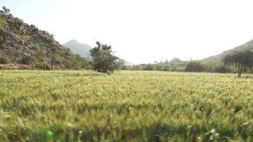Panoramic view of sunny wheat field in Jodhpur. stock footage