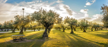 Panoramic view of sunset behind grass field and olive trees Stock Photography