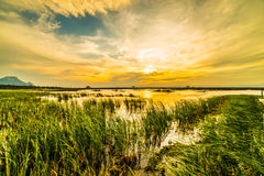 Panoramic view at sunset. The vast marsh at sunset in the park, one of Thailand Stock Photos