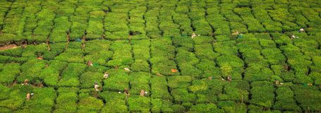 Panoramic view of tea workers hasrvesting tea, on the green hills and mountains around Munnar, Kerala, India Royalty Free Stock Images