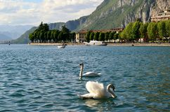 Panoramic view to the city of Lecco and two swans swimming. Royalty Free Stock Photo