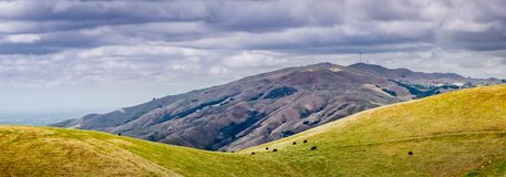Panoramic view towards Mission Peak on a cloudy spring day; a herd of cattle visible grazing on the hillside; South San Francisco royalty free stock images