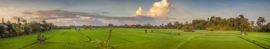 Panoramic View of an Ubud, Bali, Rice Field. Stock Photography