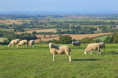 Panoramic view of valley. Flock of sheep graze on the farmland in Somerset. Panoramic view of valley royalty free stock photo